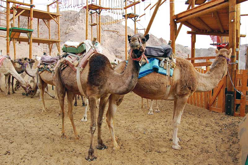 Верблюжья ферма в Эйлате